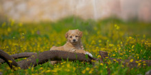 Beautiful Puppies Are Played On A Summer Glade Among Dandelions, Flowers And Grass