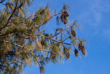 View Of Pine Branches And Cones Against The Blue Sky.