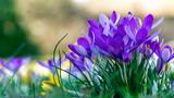 Fototapeta Kwiaty - wiese mit lila krokusse im frühling im hintergrund weicher lichtspiel.