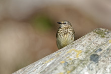 Rock Pipit - Anthus Petrosus Hunting In The Norway