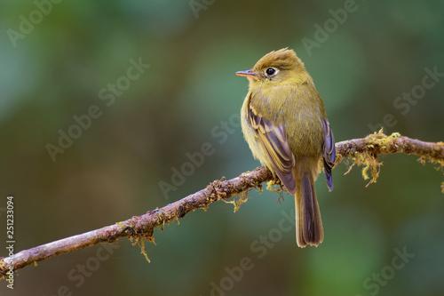 Photo  Yellowish Flycatcher - Empidonax flavescens - small passerine bird in the tyrant flycatcher family