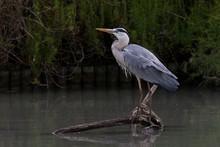 Gray Heron, Ardea Cinerea, Perched