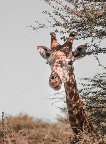 żyrafa na safari