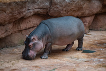 Close Up On Hippopotamus On Th...