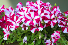 Petunia Flower In The Garden