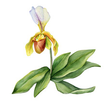 Venus' Shoes Orchid Flower With Green Leaves (aka Lady's Slipper Orchids, Moccasin Flower, Cypripedium, Whippoorwill Shoe). Hand Drawn Watercolor Painting Illustration Isolated On White Background.