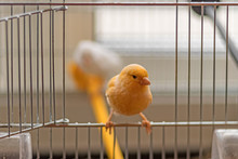 Yellow Canary Sitting On Open Cage Door, Shallow Depth Of Field