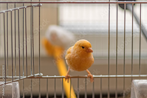 Obraz na plátne Yellow Canary sitting on open cage door, shallow depth of field