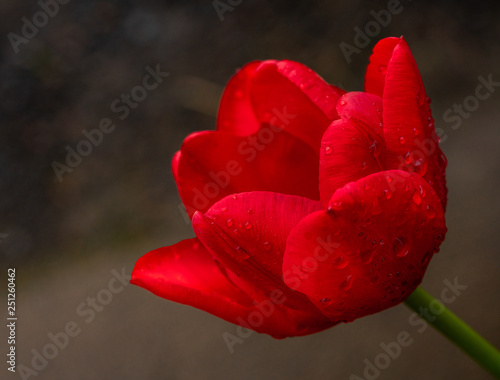 Photo  Red Single Tulip Blooming in Spring