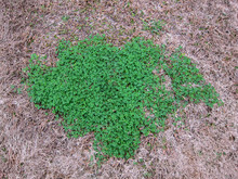 Clover Patch In Brown Grass