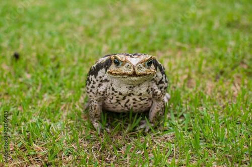Photo Sapo na grama buscando insetos de dia