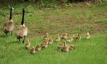 Two Adult Canadian Geese With ...