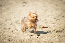 Yorkshire Terrier Puppy Playin...