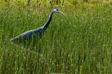 Hunting - Great Blue Heron (Ardea Herodias) Hunting In A Swamp. Willamette Valley, Oregon.