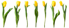 Yellow Tulip Flowers Isolated On White