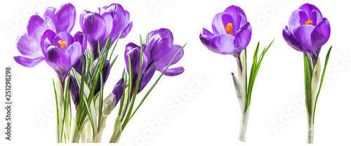 Foto op Plexiglas Krokussen Purple crocus flowers isolated on white