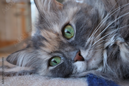 Portrait Of A Cat Beautiful Fluffy Grey Cat With Green Eyes Cloes Up Buy This Stock Photo And Explore Similar Images At Adobe Stock Adobe Stock