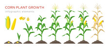 Corn Growing Stages Vector Illustration In Flat Design. Planting Process Of Corn Plant. Maize Growth From Grain To Flowering And Fruit-bearing Plant Isolated On White Background. Ripe Corn And Grains.