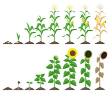 Corn Plant And Sunflower Plant...