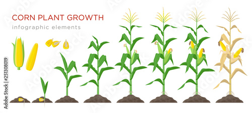 Fényképezés Corn growing stages vector illustration in flat design