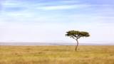 Fototapeta Sawanna - Acacia tree in the Masai Mara