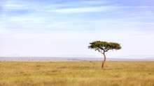 Acacia Tree In The Masai Mara