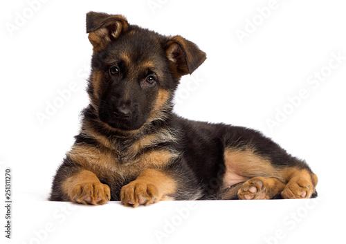 Carta da parati shepherd puppy isolated