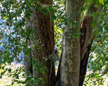 A Vervet Monkey Braced Against Two Tree Trunks.