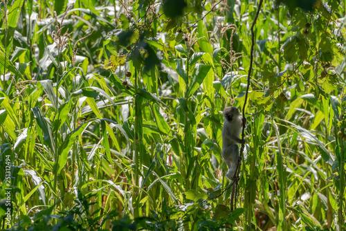Fotografie, Obraz  A vervet monkey against a backdrop of a maize field.