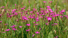 Field Carnation-herb Dianthus ...