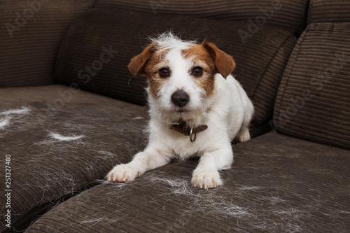 Fotografia  FURRY JACK RUSSELL DOG, SHEDDING HAIR DURING MOLT SEASON PLAYING ON SOFA