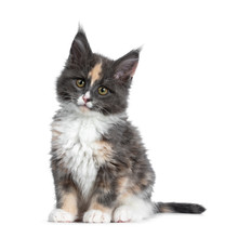 Cute Tortie Bicolor Maine Coon Cat Kitten, Sitting Up Facing Front. Looking Straight Ahead At Camera With Brown /green Eyes. Isolated On White Background. Tail Behind Body.