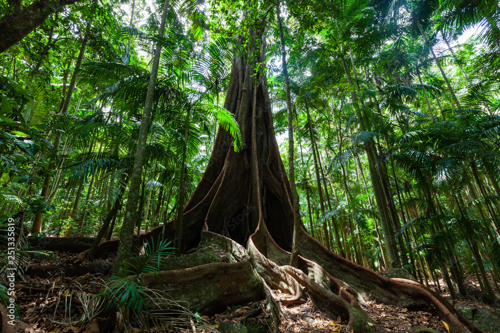 Fototapeta Giant fig tree roots in a rainforest