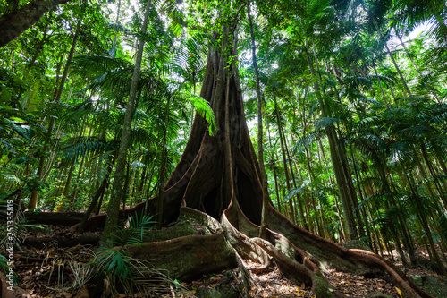 Giant fig tree roots in a rainforest Wallpaper Mural