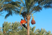 Man Harvesting Dates On Palm Tree. Worker Gather Dates Growing On Palm Tree