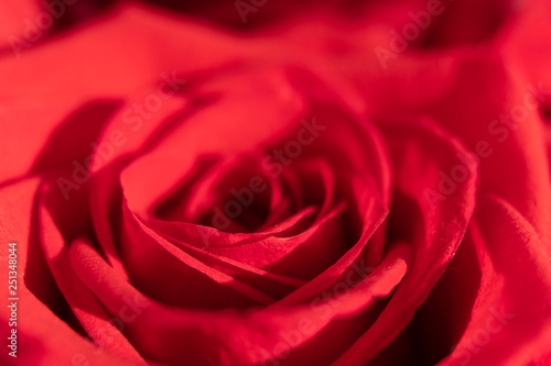 Keuken foto achterwand Roses Red rose macro