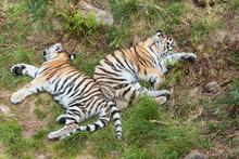 Siberian Tiger Cubs Sleeping I...