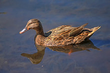 Wild Duck Female (Anas Platyrh...