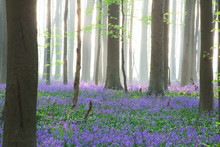 Enchanted Pristine Spring Beech Forest With A Wild Flower Carpet Of Bluebells. Bluebells Are Beautiful