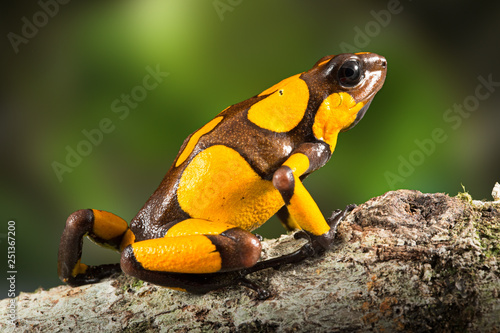 Tuinposter Kikker dartfrog or harlequin poison dart frog, Oophaga histrionica, a poisonous animal from the rain forest in Colombia. Jungle amphibian with bright yellow warning colors