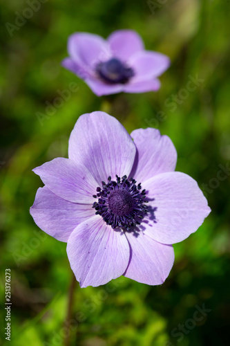 Fotografija Spring season; wild flower; Anemone (Anemone coronaria)