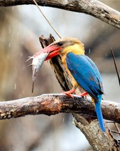 A Stork-billed Kingfisher With...