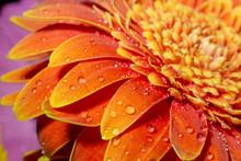 Orange Gerber Daisy Petals