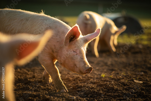 Pigs eating on a meadow in an organic meat farm Fotobehang