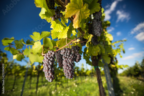 Pinturas sobre lienzo  Large bunches of red wine grapes hang from an old vine in warm afternoon light