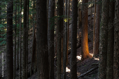 Fotografie, Obraz  Sun's Reflection - Sun reflected off neighboring trees in an old-growth Douglas Fir Forest