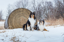 Collies Portrait With Hay Bale