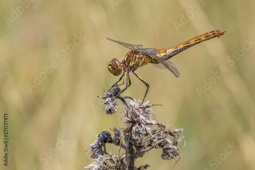 The European yellow dragonfly sitting on stig - Buy this stock photo