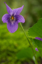 Known As Sweet Violet, English...