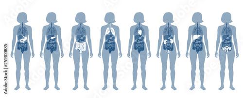 Fotografía  Human internal organs vector